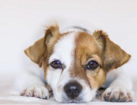 hond als huisdier